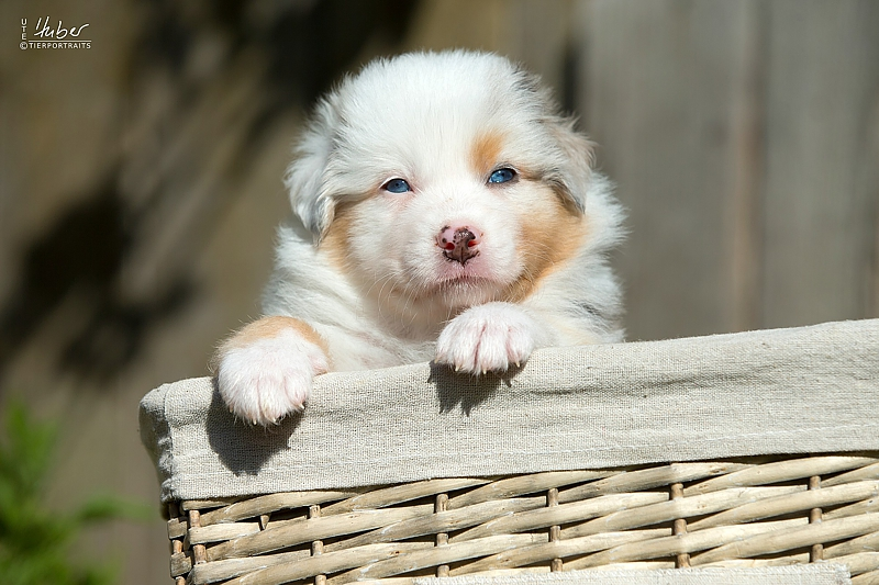 05-woche-Heartkings-Sparks-Whiter-Dream-Blue-Merle-Ruede-July_0113_1