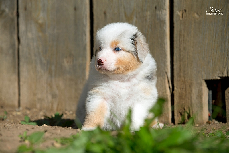 05-woche-Heartkings-Sparks-Whiter-Dream-Blue-Merle-Ruede-July_0163_1