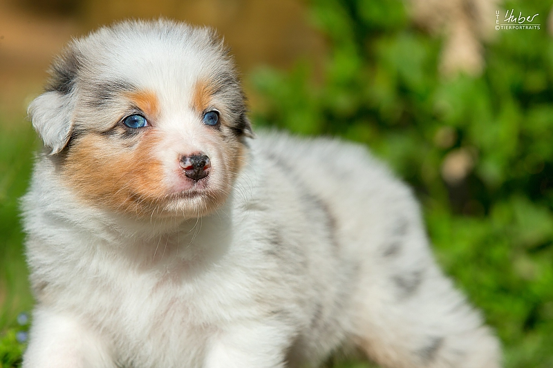 05-woche-Heartkings-one-of-a-Million-Star-Blue-Merle-Huendin-July_0037_1