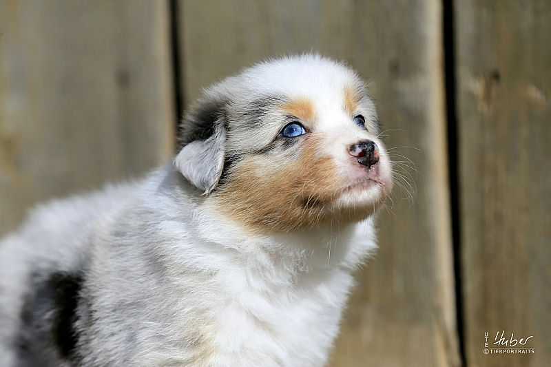 05-woche-Heartkings-one-of-a-Million-Star-Blue-Merle-Huendin-July_0081_1